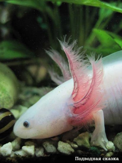 Аксолотль, или Ambystoma mexicanum
